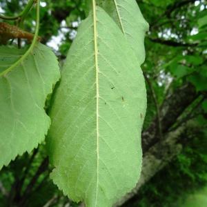 Photographie n°2269460 du taxon Prunus avium (L.) L. [1755]