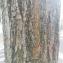 La Spada Arturo - Robinia pseudoacacia L.