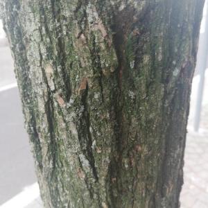 - Robinia pseudoacacia L.