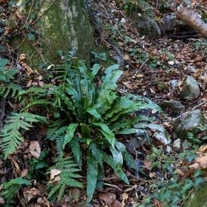 Photographie n°2269515 du taxon Asplenium scolopendrium L. [1753]