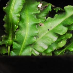 Photographie n°2269518 du taxon Asplenium scolopendrium L. [1753]