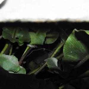 Photographie n°2269520 du taxon Asplenium scolopendrium L. [1753]