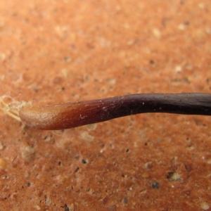 Photographie n°2269536 du taxon Asplenium adiantum-nigrum L.