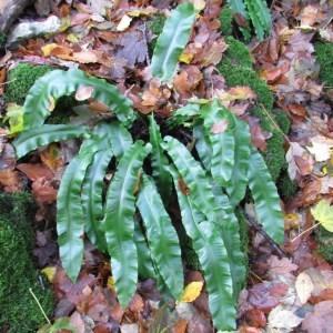 Photographie n°2269545 du taxon Asplenium scolopendrium L. [1753]