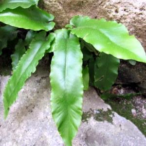 Photographie n°2269551 du taxon Asplenium scolopendrium L. [1753]