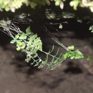 Photographie n°2269563 du taxon Asplenium adiantum-nigrum L.