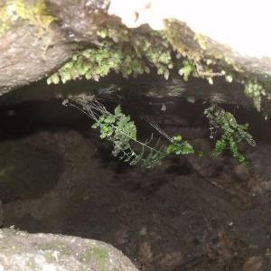 Photographie n°2269564 du taxon Asplenium adiantum-nigrum L.
