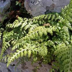 Photographie n°2269578 du taxon Asplenium balearicum Shivas [1969]