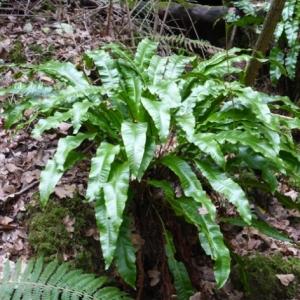 Photographie n°2269585 du taxon Asplenium scolopendrium L. [1753]