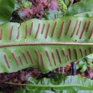 Photographie n°2269596 du taxon Asplenium scolopendrium L. [1753]