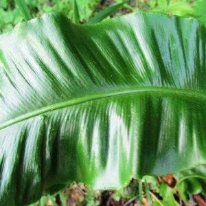 Photographie n°2269613 du taxon Asplenium scolopendrium L. [1753]