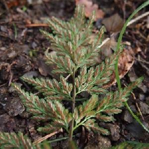 Photographie n°2269649 du taxon Asplenium adiantum-nigrum L.
