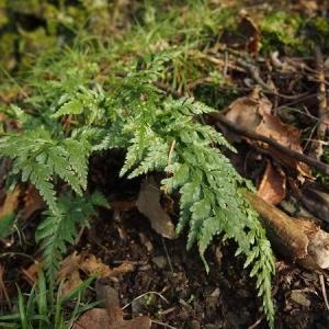 Photographie n°2269651 du taxon Asplenium adiantum-nigrum L.