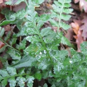Photographie n°2269665 du taxon Asplenium adiantum-nigrum L.