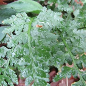 Photographie n°2269666 du taxon Asplenium adiantum-nigrum L.