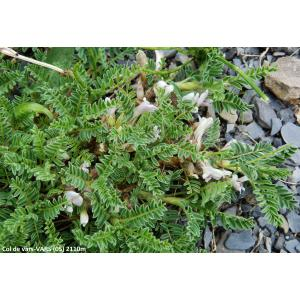 Astragalus sempervirens Lam. subsp. sempervirens (Astragale aristé)