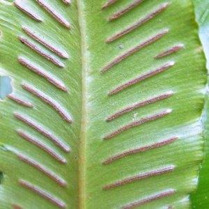 Photographie n°2269744 du taxon Asplenium scolopendrium L. [1753]