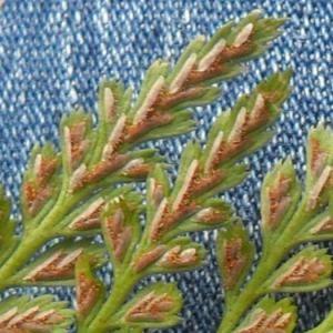Photographie n°2269769 du taxon Asplenium adiantum-nigrum L.