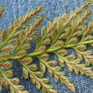 Photographie n°2269770 du taxon Asplenium adiantum-nigrum L.