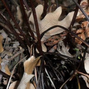 Photographie n°2269772 du taxon Asplenium adiantum-nigrum L.