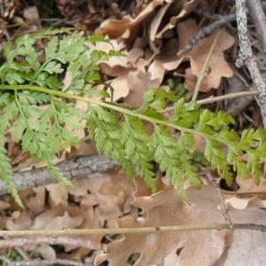 Photographie n°2269773 du taxon Asplenium adiantum-nigrum L.
