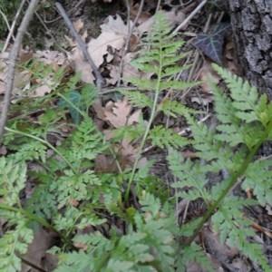 Photographie n°2269774 du taxon Asplenium adiantum-nigrum L.