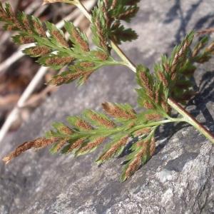 Photographie n°2269871 du taxon Asplenium adiantum-nigrum L.