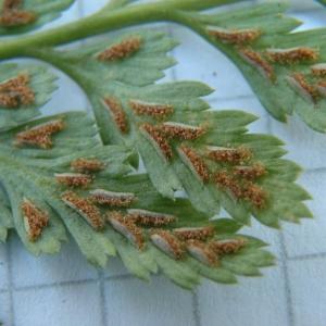 Photographie n°2269884 du taxon Asplenium adiantum-nigrum L.