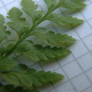 Photographie n°2269885 du taxon Asplenium adiantum-nigrum L.