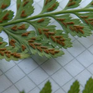 Photographie n°2269886 du taxon Asplenium adiantum-nigrum L.