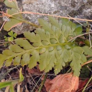 Photographie n°2269890 du taxon Asplenium adiantum-nigrum L.