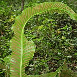 Photographie n°2269931 du taxon Asplenium scolopendrium L. [1753]