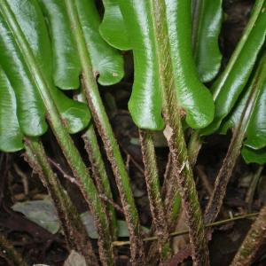 Photographie n°2269932 du taxon Asplenium scolopendrium L. [1753]