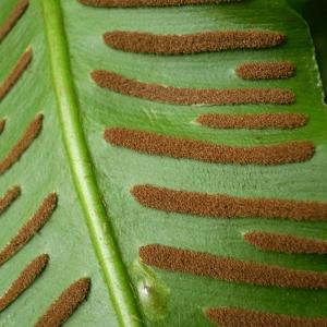 Asplenium scolopendrium L. (Scolopendre)