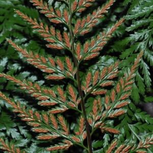 Photographie n°2269936 du taxon Asplenium adiantum-nigrum L.