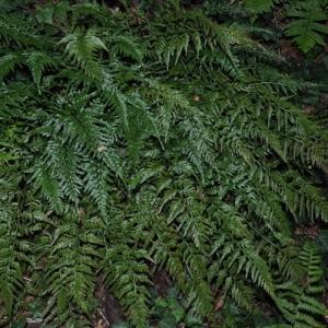 Photographie n°2269937 du taxon Asplenium adiantum-nigrum L.
