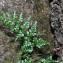 La Spada Arturo - Asplenium adiantum-nigrum L.