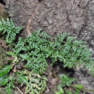 Photographie n°2269946 du taxon Asplenium adiantum-nigrum L.