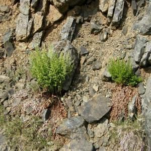 Asplenium cuneifolium Viv. subsp. cuneifolium (Asplénium à feuilles cunéiformes)
