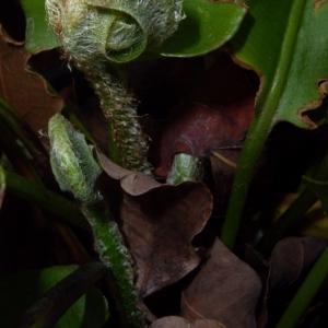 Photographie n°2269971 du taxon Asplenium scolopendrium L. [1753]