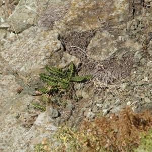 Asplenium ceterach L. subsp. ceterach (Cétérac)