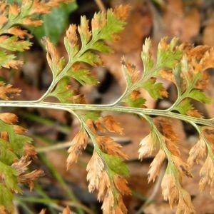Photographie n°2270023 du taxon Asplenium adiantum-nigrum L.