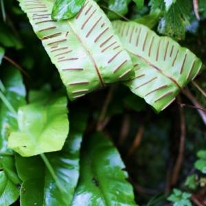Photographie n°2270024 du taxon Asplenium scolopendrium L. [1753]