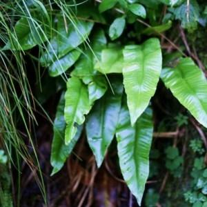 Photographie n°2270025 du taxon Asplenium scolopendrium L. [1753]