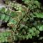 La Spada Arturo - Asplenium trichomanes L. [1753]