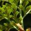 La Spada Arturo - Asplenium cuneifolium Viv. [1806]