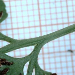 Photographie n°2270188 du taxon Asplenium adiantum-nigrum L.