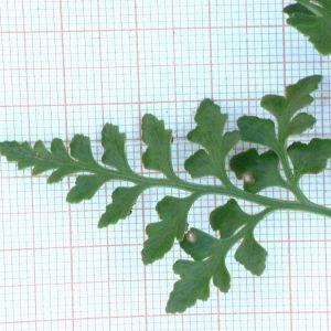 Photographie n°2270190 du taxon Asplenium adiantum-nigrum L.