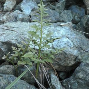 Photographie n°2270193 du taxon Asplenium adiantum-nigrum L.