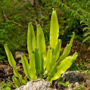 Photographie n°2270205 du taxon Asplenium scolopendrium L. [1753]